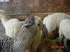 Nh_sheep_wool_may_2008_017