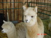 Nh_sheep_wool_may_2008_039